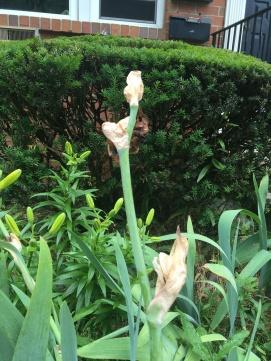 Shriveled nubs of formerly full irises